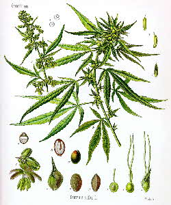 Common hemp, Cannabis s. sativa