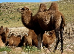Bactrian camels of Asia | Wild Fibres natural fibres