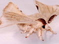 Mulberry silkmoth adults | Wild Fibres natural fibres