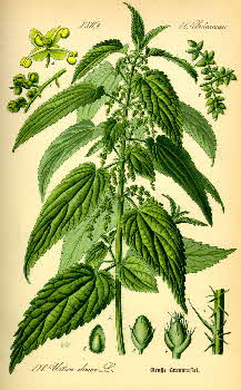 Common stinging nettle, Urtica dioica