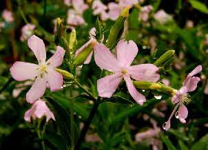 Saponaria Officinalis Root