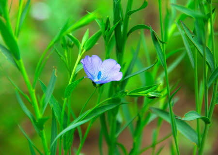 Common flax in flower