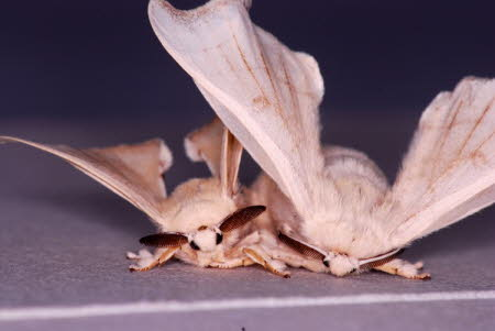Mulberry silkmoths mating