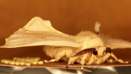 Female silk moth with eggs